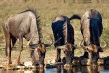 Wildebeest Drinking