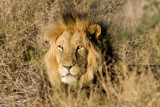 Lion in the brush