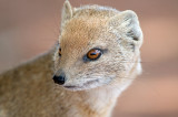 Mongoose 4