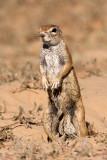 Squirrel (male I think)