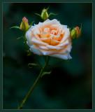 La Rose Presque Blanche