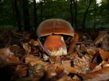 Le bolet, le champignon photogénique par excellence !