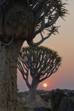 Quivertree Forest - Namibia
