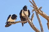Pied Crow - Namibia