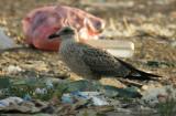 Latest Yellow-legged Gulls (19 August)