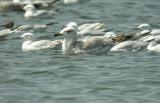 Armenian Gull - Larus armenicus
