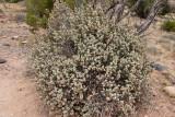 Bullaloberry Bush