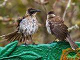 Galápagos Mockingbirds (Nesomimus parvulus) 2