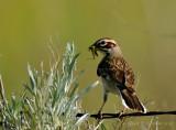 Lark Sparrow with Grasshopper