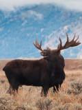 Bold Moose