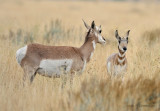 Pronghorn and Young