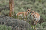 Pronghorn Pair