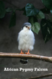 African Pygmy Falcons
