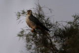 Adult Female Lanner Falcon - Falco biarmicus erlangeri - Halcon Borní o Lanario hembra adulta - Falco llaner femella adulta