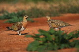 Pintail Sandgrouse - Gangas - Pterocles alchata