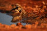 Lesser Short toed Lark - Calandrella rufescens - Terrerola rogenca - Terrera marismeña