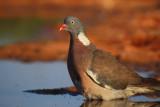Wood Pigeon - Columba palumbus - Paloma Torcaz - Tudó