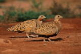 Black-bellied Sandgrouse - Pterocles orientalis - Xurra - Ganga Ortega
