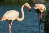 Greater Flamingo - Phoenicopterus ruber roseus- Flamenco - Flamenc