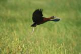 Glosy ibis - Plegadis falcinellus - Capo reial - Morito - Ibis falcinelle