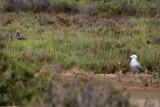 Audouin's Gull - Larus audouinii - Gaviota de Audouin - Gavina Corsa