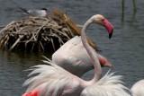 Greater Flamingo - Phoenicopterus ruber roseus - Flamenco (ave) - Flamenc (ocell)