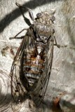 Cicada - Superfamilia Cicadoidea - Cigarra - Cigala