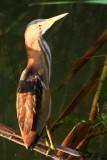 Little Bittern - Ixobrychus minutus - Avetorillo - Martinet menut - Fatxenda