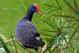 Purple Gallinule or Purple Swamp Hen - Porphyrio porphyrio - Calamón - Polla Blava - Gall Marí