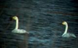 Bewick's Swan (Cygnus columbianus bewickii)