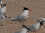 Lesser Crested Tern Hybrid Gallery (Sterna bengalensis x St. sandvicensis)