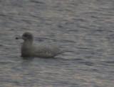 Galley Glaucos Gull - Larus hiperboreus - Gavión Hiperboreo - Gavinot Hiperbori