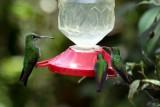 Three hummingbirds