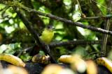 Bird eating bananas