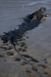 Marine iguana slogging through the mud