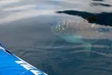 Mola mola - pacific sunfish - it is huge!