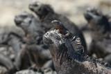 Lava lizard on marine iguana