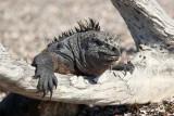 Marine iguana hanging out