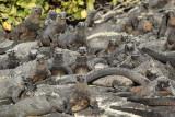 Another marine iguana peanut gallery