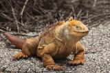 Land iguana - about 3 feet long