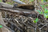 Tree lion snoozing in the mangroves