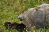 Galapagos tortoise and flycatcher