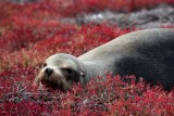 Sea lion relaxing on the ice plants