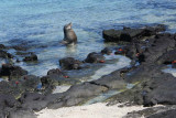 Sea Lion, maybe the beachmaster