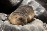 Sea lion cub having a snooze on the rocks
