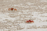 Ghost crabs are skittish and hard to photograph