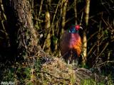 13  - Wild Pheasant