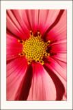La fleur d'Iwona