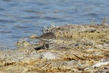 Spotted sandpiper<br><i>Actitis macularia</i>