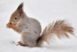 Squirrels. Winter
